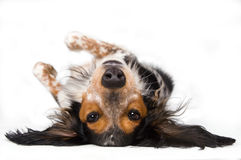 Dog upside down. Looking at the world from a different perspective Royalty Free Stock Photo