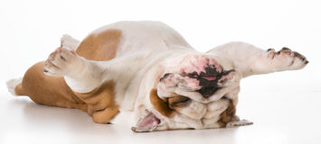 Dog upside down Royalty Free Stock Photography