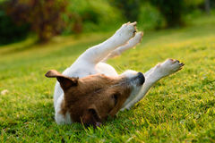 Dog upside down rolling and lying on its back on green grass. Jack Russell Terrier relaxing on lawn Stock Images