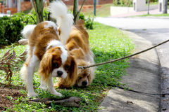 Dog urinate. A dog in urinate on the plant Stock Image