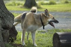 Dog urinating. A german shephard urinating on a tree Royalty Free Stock Image