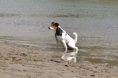 Dog urinating in the river Royalty Free Stock Photography