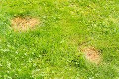 Dog urine creates patches on grass. Everyone who has a lawn and dogs will have these ugly dead grass patches due to the dog`s urine.  Everyone discuss ways to Stock Images
