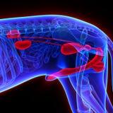 Dog Urogenital System - Canis Lupus Familiaris Anatomy - isolate. D on black vector illustration