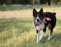 Dog with USA Flag Bandanna Stock Photos