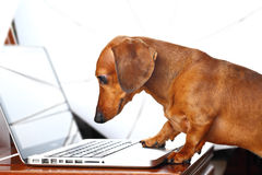 Dog using computer Stock Photography