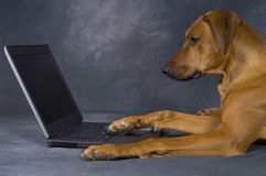 Dog using computer for surfing in the network. A beautiful young brown rhodesian ridgeback is using a computer. He is lying in front of the laptop and surfing in royalty free stock photos