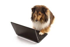Dog using laptop Stock Photos