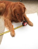 Dog using a tape measure Stock Images