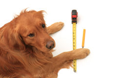 Dog using a tape measure Royalty Free Stock Image