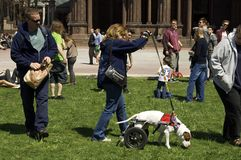 Dog using wheelchair. Boston, Massachusetts USA - April 28 2013 - Walker with disabled dog in wheelchair moving through Copley Square. Onlookers watch with Royalty Free Stock Photo