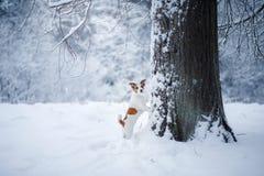 Dog utomhus, i träna, vinterlynnen royaltyfri bild