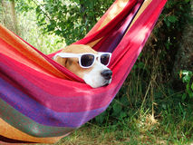 Dog on vacation. Resting in hammock with sunglasses stock photos