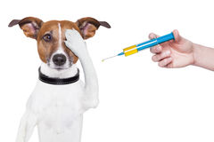 Dog vaccination. With a big blue Syringe royalty free stock photo