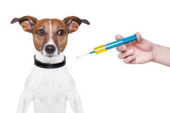 Dog vaccination royalty free stock photography