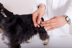 Dog vaccination Stock Photography