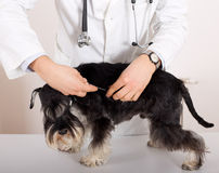 Dog vaccination Stock Images
