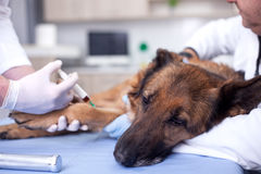 Dog Vaccine For Pre-emptive Protection From Diseases Stock Photography