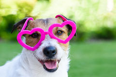 Dog with Valentines day look. Dog with glasses in shape of hearts Stock Photos