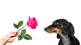 Dog valentines rose Royalty Free Stock Photos