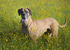 Dog in the veadow Stock Images