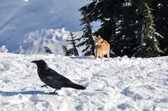 Dog versus Raven. A dog observing a raven in the winter snow Stock Photo