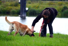 Dog versus woman. Dominant Belgian Malinois dog refuses to give in the ball. The owner is teaching the dog a lesson. End of july 2017 by the river Meuse in Stock Photo