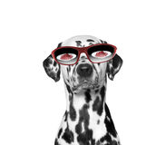 Dog is very hungry. Food reflected in his glasses. Isolate on white background Stock Image