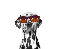 Dog is very hungry. Food reflected in his glasses. Isolate on white background Stock Photos