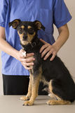 Dog and vet Stock Photo
