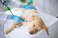 Dog at the vet. Ambulance royalty free stock photos