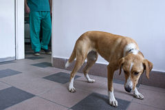 Dog at vet clinic Royalty Free Stock Photography