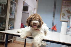Dog at the vet clinic Royalty Free Stock Image