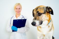 Dog at a vet. A portrait of a dog at a vet checkup stock photos