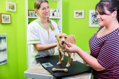 Dog at veterinarian check up gets a bone Stock Image