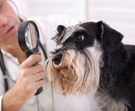 Dog at veterinarian royalty free stock photo