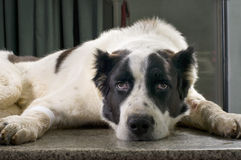 Dog in a veterinary clinic stock image