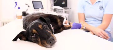 Dog in veterinary clinic. After operation on broken leg Royalty Free Stock Photo