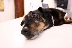 Dog in veterinary clinic. After surgery being sad Royalty Free Stock Images