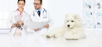 Dog veterinary examination veterinarians advice the exams and pr. Epare the diagnosis Stock Photography