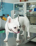 Dog in a veterinary office Royalty Free Stock Images