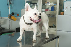 Dog in a veterinary office Stock Photography