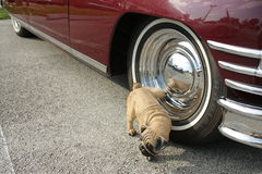 Dog and Vintage Car. Dog peeing on vintage car tire Stock Photography