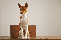Dog with a vintage wooden box Royalty Free Stock Photos