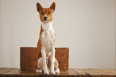 Dog with a vintage wooden box. Studio shot of a cute basenji dog wearing white earbuds looking into camera Stock Images