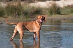 Dog, Vizsla, Hungarian pointer, standing in water Royalty Free Stock Photo