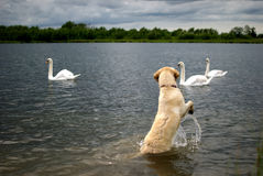 Dog vs swans. Labrador poodle labradoodle having a shown down with 3 swans Stock Photos