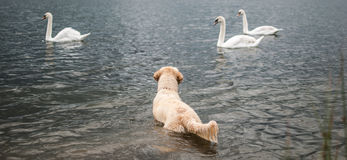 Dog vs swans Royalty Free Stock Photos