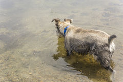 Dog Wades in Shallow Lake Stock Images