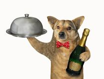 Dog waiter with a metal tray stock images